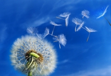 蓝天白云下飞舞飘动的蒲公英图片