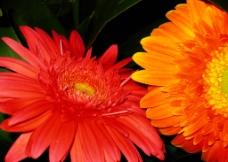 非洲菊图片