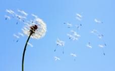 风吹散的蒲公英图片