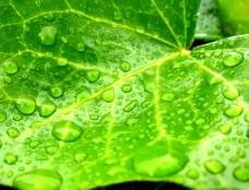 绿叶 露珠图片