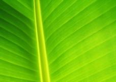 绿叶纹理图片