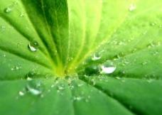 绿叶纹理 露珠图片