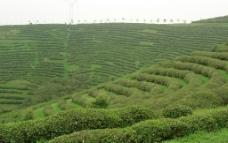 绿野 茶林 丘林图片