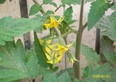 西红柿花图片