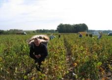 法国手工采摘葡萄图片