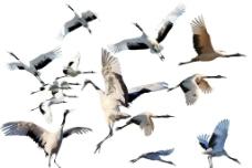 丹顶鹤造型图片