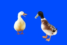 鴨子分層素材圖片