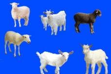 羊分層素材圖片