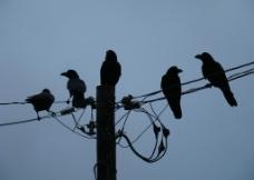 電線桿上的烏鴉图片