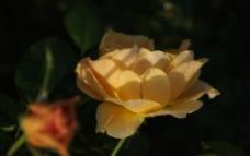黄色月季花图片