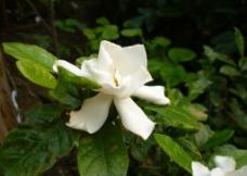 白色的栀子花侧面图片