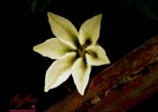 米白色花图片