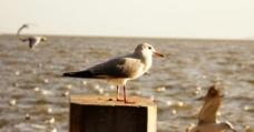滇池海鸥图片