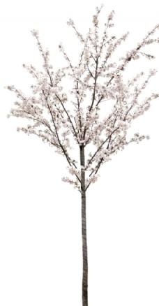 园林树木桃树透明png图片