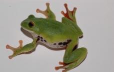 莫氏树蛙图片