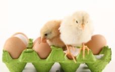 刚孵出的小鸡图片