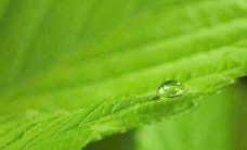 绿叶 水珠图片
