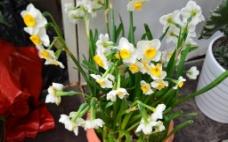 水仙花图片